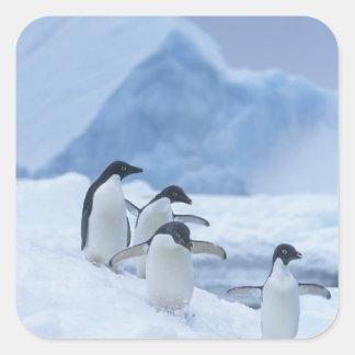 Adelie Penguins (Pygoscelis adeliae) on ice, Square Sticker
