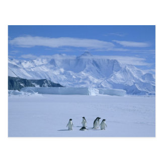 Adelie Penguins, Pygoscelis adeliae), Postcard