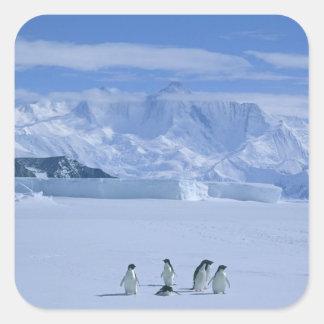 Adelie Penguins, Pygoscelis adeliae), Square Sticker