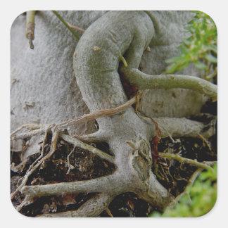 Adenium Gnarled roots of Desert Rose Square Sticker