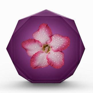 Adenium Pink Flower Flora Gradient Violet Award