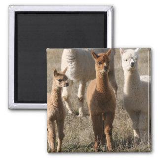 Adorable Alpacas Magnet