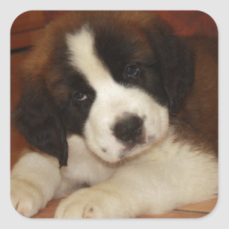 Adorable and Sweet St. Bernard Puppy Square Stickers