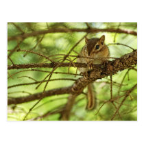 Adorable Baby Chipmunk Hiding in a Pine Tree Postcard