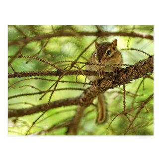 Adorable Baby Chipmunk Hiding in a Pine Tree Postcard