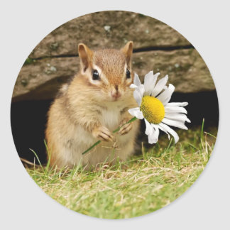 Adorable Baby Chipmunk with Daisy Classic Round Sticker