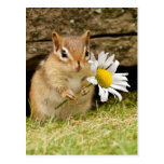 Adorable Baby Chipmunk with Daisy Postcard
