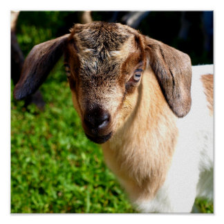 Adorable Baby Goat Poster
