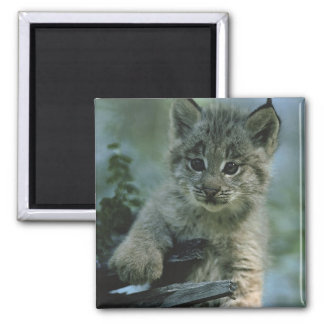 Adorable Baby Lynx 2 Inch Square Magnet