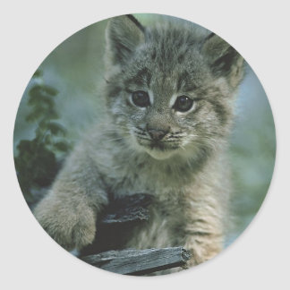 Adorable Baby Lynx Classic Round Sticker