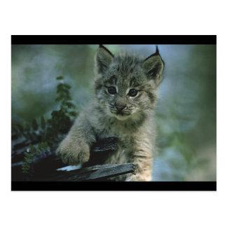 Adorable Baby Lynx Postcard