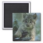 Adorable Baby Lynx Refrigerator Magnet