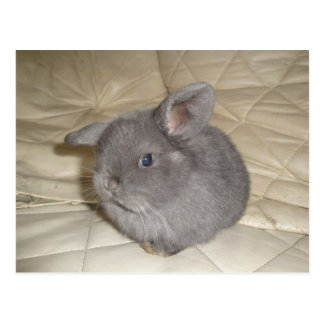 Adorable Baby Mini Lop Postcard