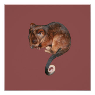 Adorable Baby Ringtail Possum in Australia Poster
