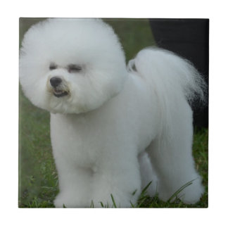 Adorable Bichon Tile