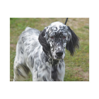 Adorable Black and White English Setter Canvas Print