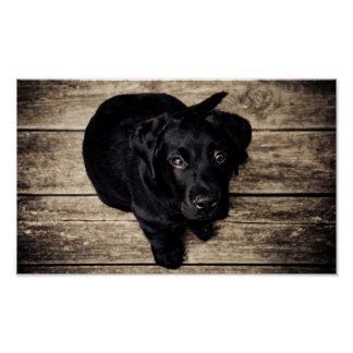 Adorable Black Lab Puppy Poster