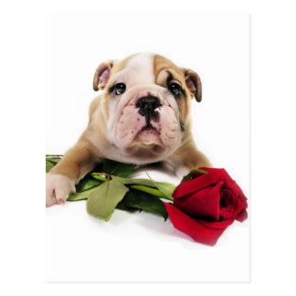 Adorable Brown and White Bulldog with Red flower Postcard
