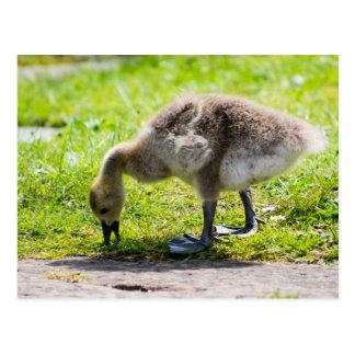 Canada Goose toronto online cheap - Cute Canada Goose Postcards | Zazzle