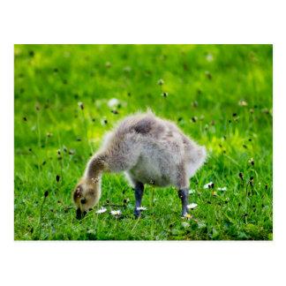Adorable Canada Goose gosling Postcard