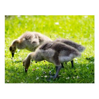 Adorable Canada Goose goslings Postcard