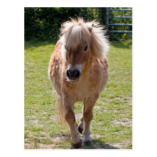 Adorable chestnut shetland pony postcard