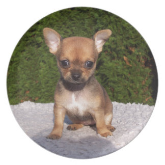 Adorable Chihuahua dog standing on a green lawn Party Plate