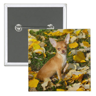 Adorable Chihuahua Puppy Between Yellow Leaves Button
