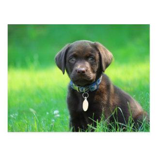 Adorable Chocolate Labrador Puppy Postcard
