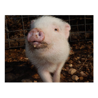 Adorable Dirty Snout Mini Pig, Pig postcard