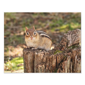 Adorable Fat and Fluffy Chipmunk Photo Print