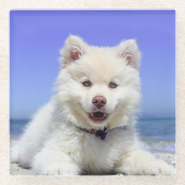 Adorable Finnish Lapphund at the beach Glass Coaster