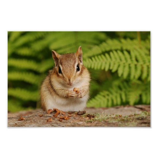 Adorable fluffy baby chipmunk poster