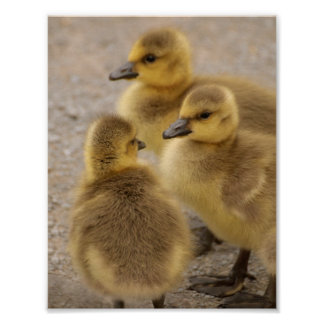 Adorable Fuzzy Baby Geese Goslings Group of 3 Poster