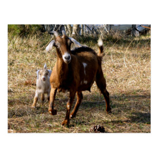Adorable Goats Postcard