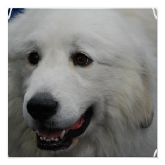 Adorable Great Pyrenees Print