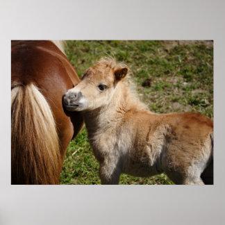 Adorable Haflinger Foal Poster