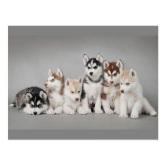 Adorable Husky Puppies Postcard