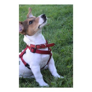 """adorable jack russell terrier  puppy obedient dog 5.5"""" x 8.5"""" flyer"""