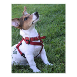 """adorable jack russell terrier  puppy obedient dog 8.5"""" x 11"""" flyer"""
