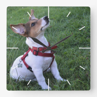 adorable jack russell terrier  puppy obedient dog square wall clock