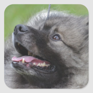 Adorable Keeshond Stickers