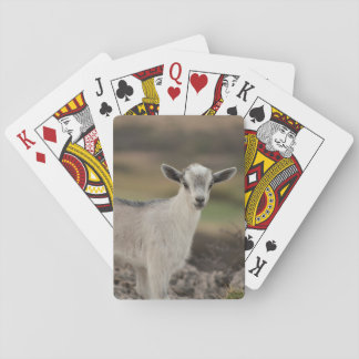 Adorable Kid Goat Playing Cards