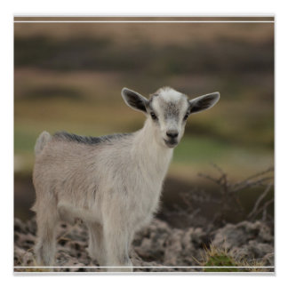 Adorable Kid Goat Poster