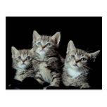 Adorable Kittens Postcard