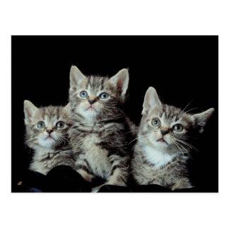 Adorable Kittens Postcards