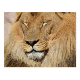 Adorable Lion Postcard
