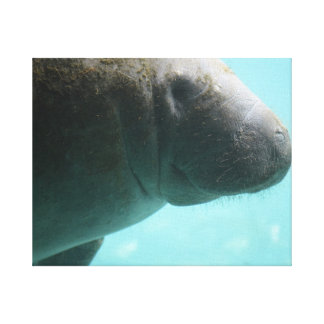 Adorable Manatee Swimming Stretched Canvas Print