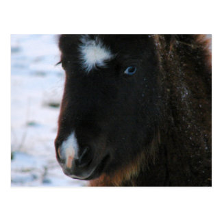 Adorable Mini Horse Filly Postcard
