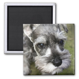 Adorable Miniature Schnauzer Puppy Magnet
